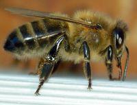 ouvriere_abeille_noire