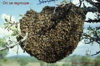 presentation-essaim-abeilles4