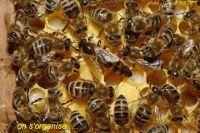presentation-organisation-abeilles6